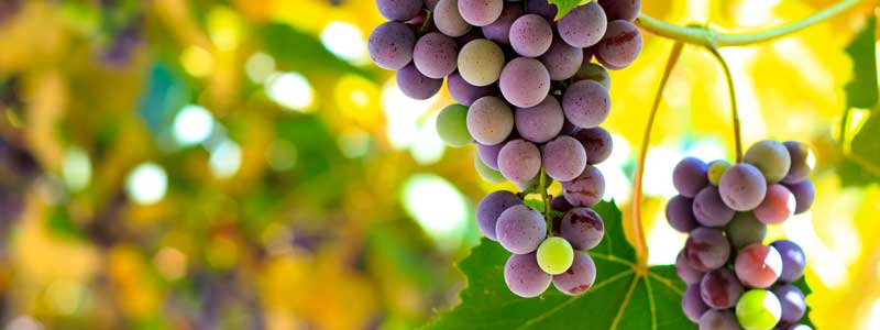 Side-Effects-of-Resveratrol