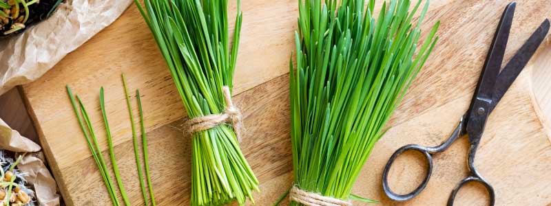 Wheatgrass-Benefits
