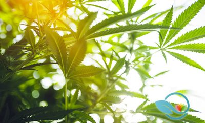 Why is Diatomaceous Earth an Essential Ingredient to Use When Growing Medical Cannabis Plants?
