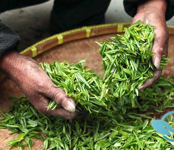 New Green Tea Study: Drinkers Enjoy Optimal Health, Lower Cardiovascular Disease Risks