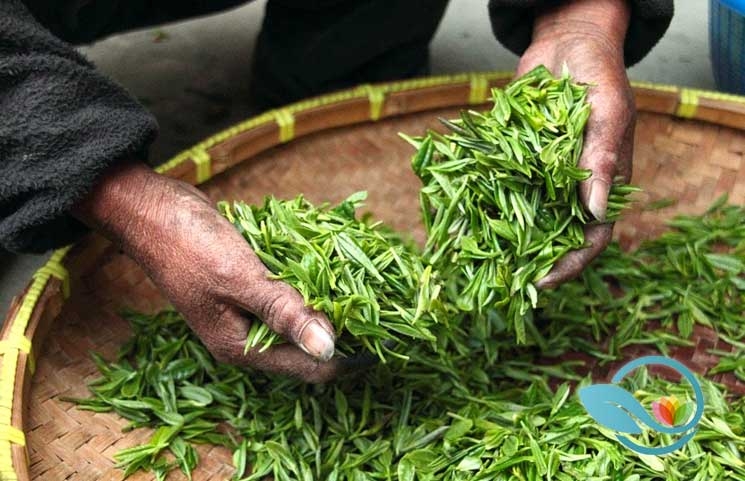 New Green Tea Study: Drinkers Enjoy Optimal Health, Lower Cardiovascular Disease Risks