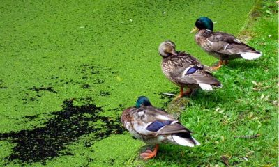 Plant-Based Vitamin B12 Present in Large Amounts in Duckweed, or Water Lentils