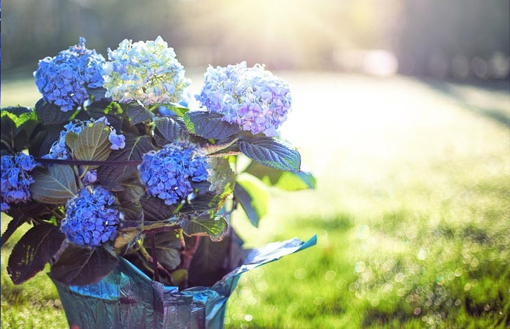 Study Reveals Oral Hydrangea Extract Consumption May Improve Skin Health